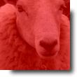 Picto-Mouton