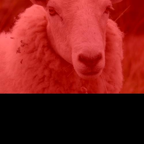 500px-Mouton